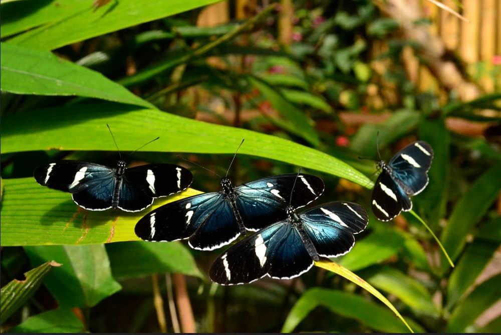 Mindo`s Butterflies